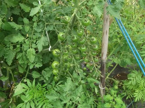 トマト&トウモロコシ_b0137932_2232313.jpg