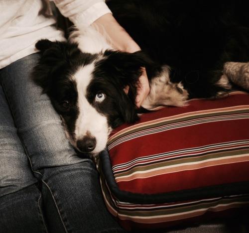 Image result for 犬 border collie あなたの隣に横たわっています