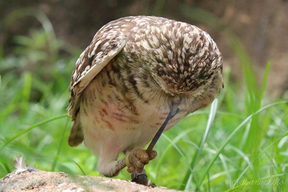 アナホリフクロウの捕食風景