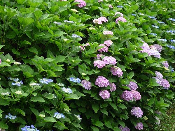 2015年7月6日 紫陽花の花_b0341140_11141759.jpg