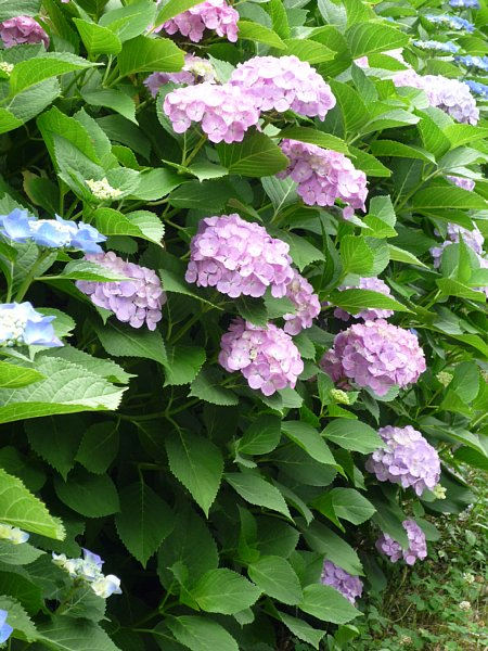 2015年7月6日 紫陽花の花_b0341140_1114292.jpg