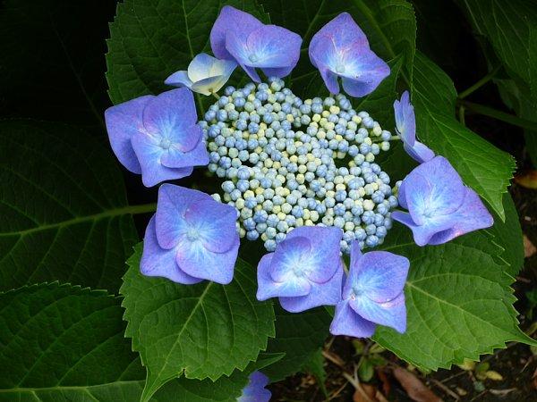 2015年7月6日 紫陽花の花_b0341140_11144841.jpg