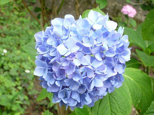 2015年7月6日 紫陽花の花_b0341140_11153310.jpg