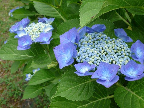 2015年7月6日 紫陽花の花_b0341140_11163346.jpg