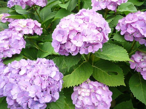 2015年7月6日 紫陽花の花_b0341140_1116934.jpg