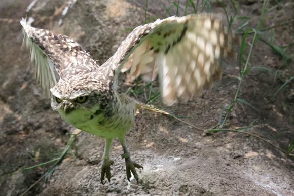 アナホリフクロウのホバリング飛行