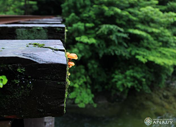 杉の気根から粘液がっ!_f0252883_1026068.jpg
