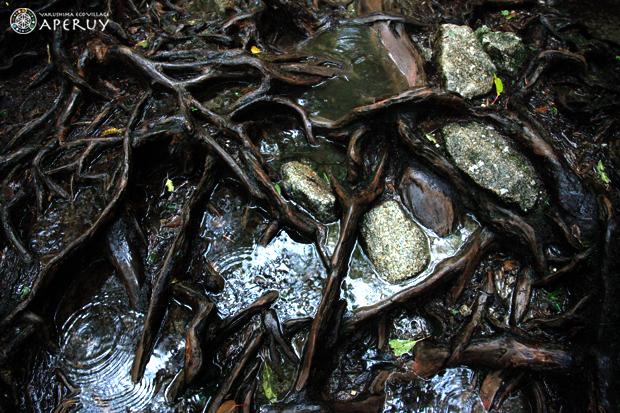 杉の気根から粘液がっ!_f0252883_10301317.jpg
