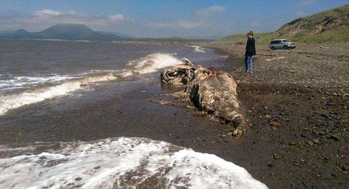 ロシアで「龍」のような生き物の死骸が発見される!?:ファルコンか、ドラゴンか?_e0171614_14372720.jpg