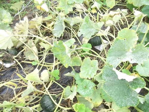 スイカの収穫時期ですが..._b0137932_22285280.jpg