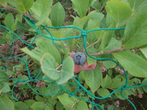 スイカの収穫時期ですが..._b0137932_22311659.jpg