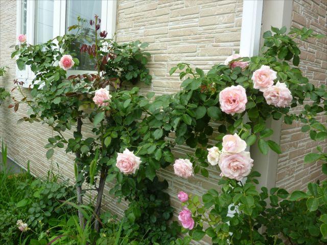 バラのお庭_f0032332_20555430.jpg