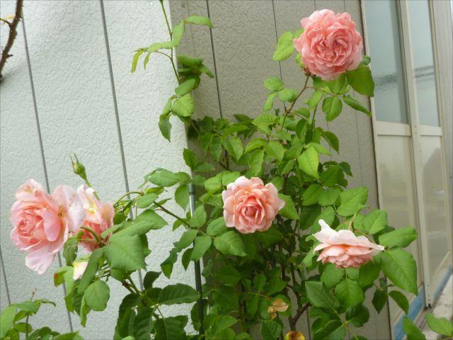 バラのお庭_f0032332_20565779.jpg