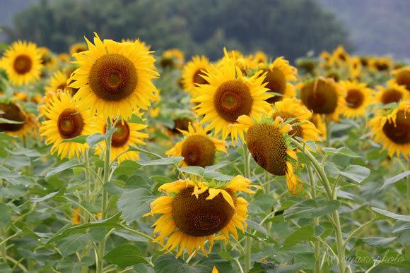 雨の日の向日葵