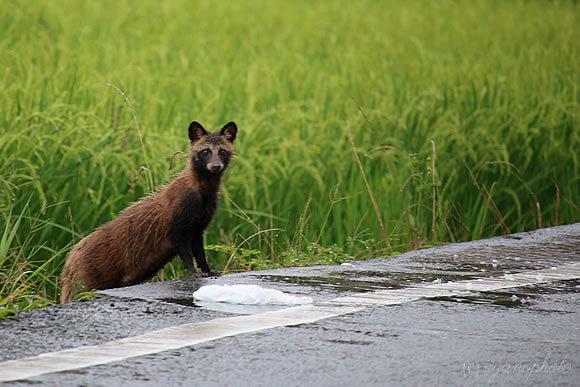 野生の狸(タヌキ)