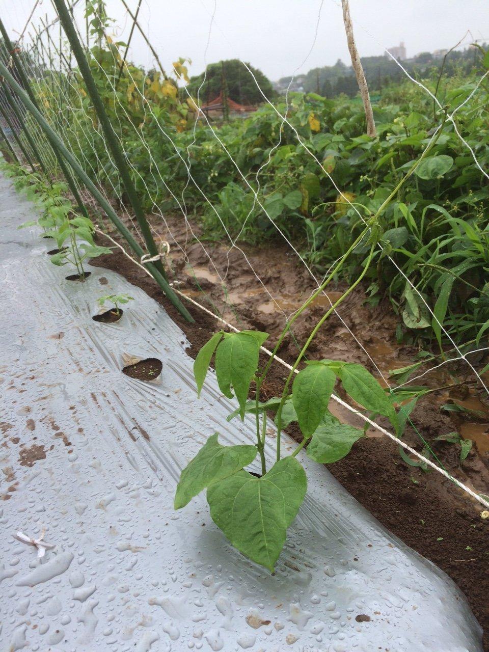 蔓ありインゲン成平 の櫓立て 土砂降りの中 赤井さんありがとうございます_c0222448_11560043.jpg