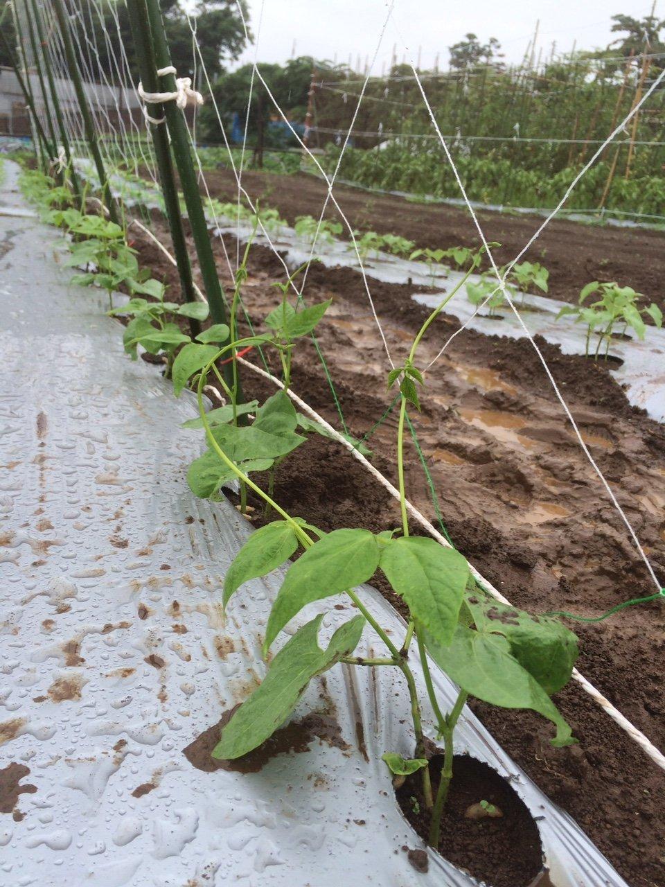 蔓ありインゲン成平 の櫓立て 土砂降りの中 赤井さんありがとうございます_c0222448_11561246.jpg