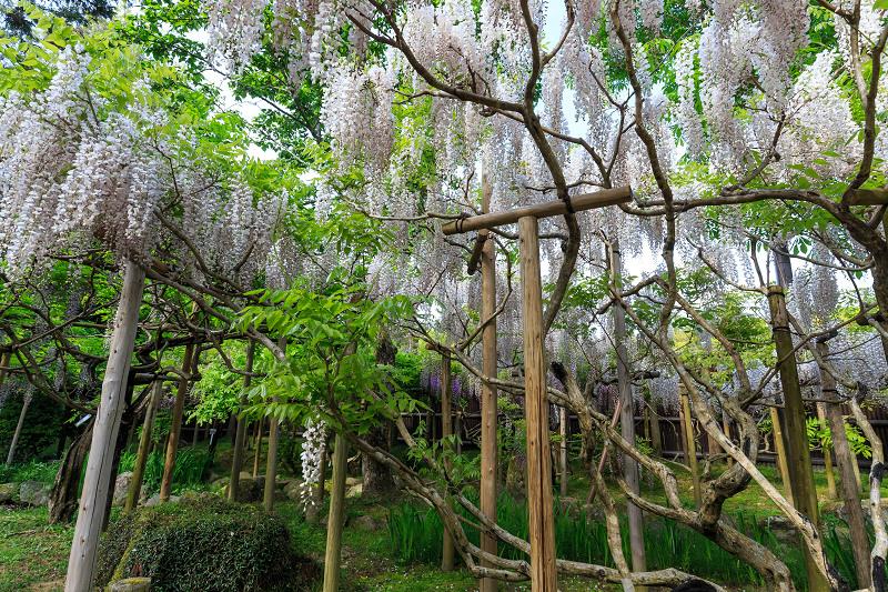 春日大社・万葉植物園の藤_f0155048_23315692.jpg