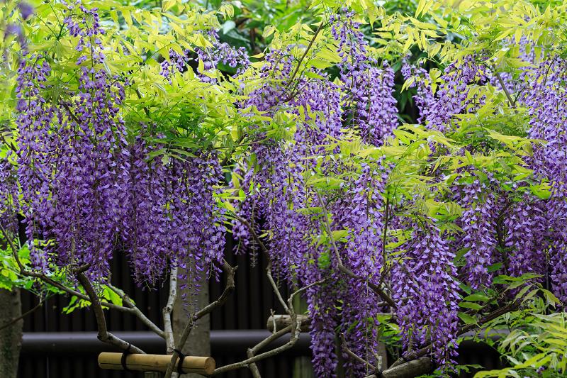 春日大社・万葉植物園の藤_f0155048_23324458.jpg