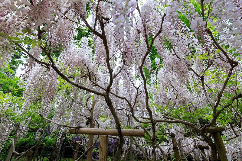 春日大社・万葉植物園の藤_f0155048_23341152.jpg