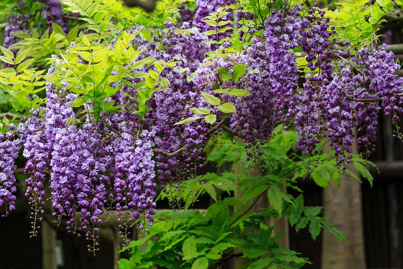 春日大社・万葉植物園の藤_f0155048_23342562.jpg