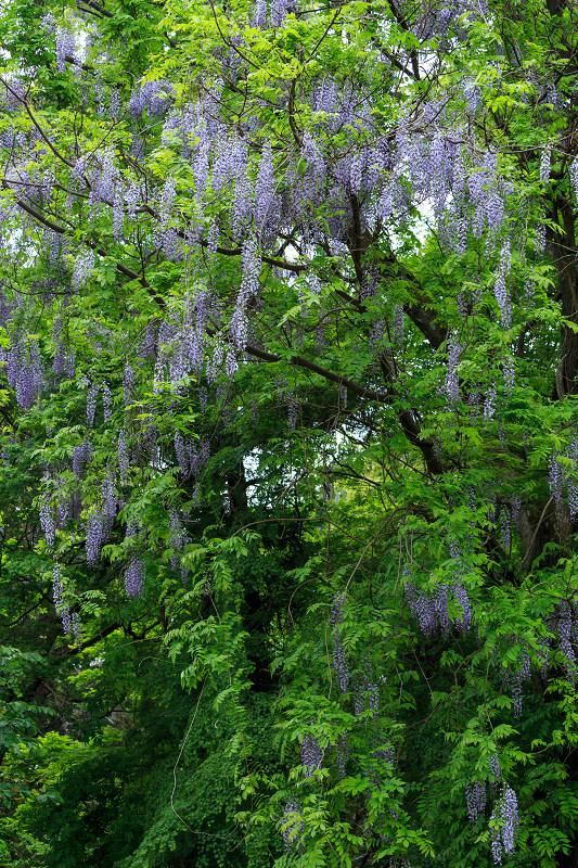 春日大社・万葉植物園の藤_f0155048_23344285.jpg
