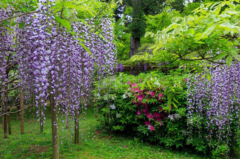 春日大社・万葉植物園の藤_f0155048_23345212.jpg