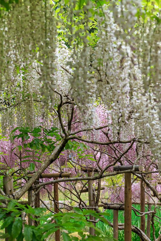 春日大社・万葉植物園の藤_f0155048_23364999.jpg