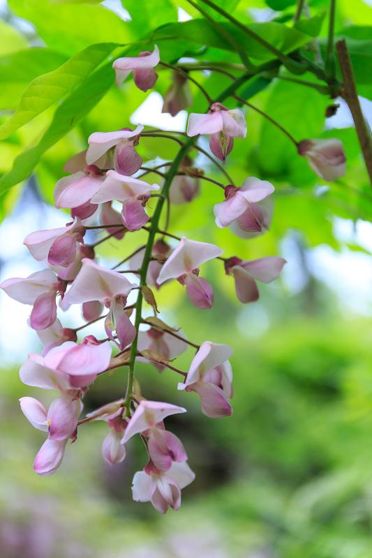 春日大社・万葉植物園の藤_f0155048_23371453.jpg