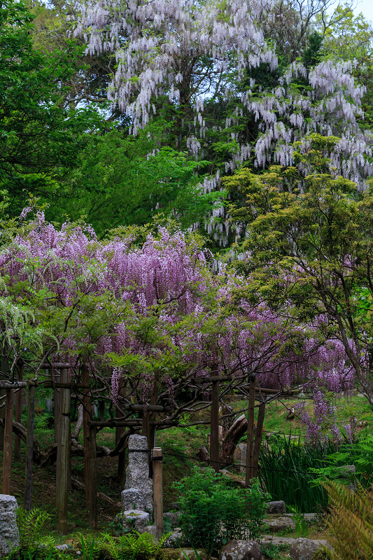 春日大社・万葉植物園の藤_f0155048_23375595.jpg