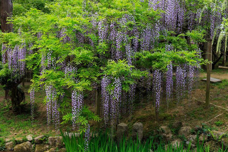 春日大社・万葉植物園の藤_f0155048_2338374.jpg