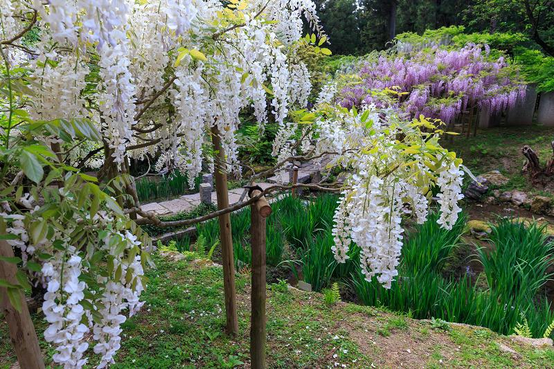 春日大社・万葉植物園の藤_f0155048_23391775.jpg