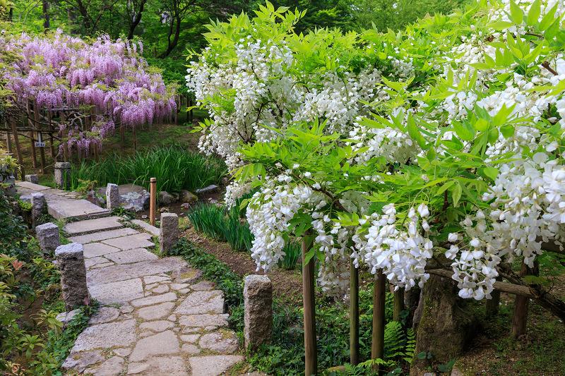 春日大社・万葉植物園の藤_f0155048_23395488.jpg