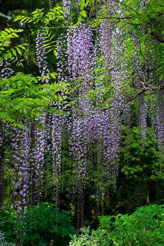 春日大社・万葉植物園の藤_f0155048_23404340.jpg
