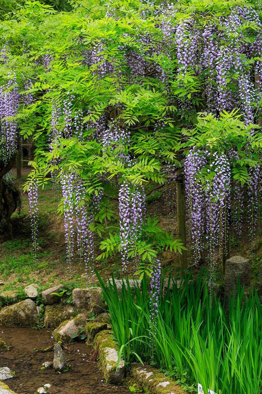 春日大社・万葉植物園の藤_f0155048_23424681.jpg