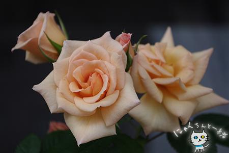 17歳のミニ薔薇_e0031853_2052216.jpg