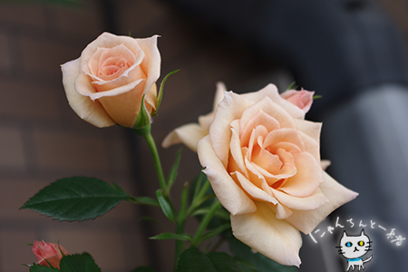 17歳のミニ薔薇_e0031853_205633.jpg