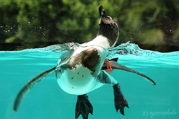 フンボルトペンギンのお腹