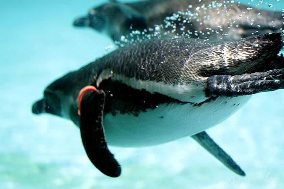 潜水するフンボルトペンギン