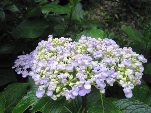 紫陽花は、まだまだ見ごろです_f0085369_22384283.jpg