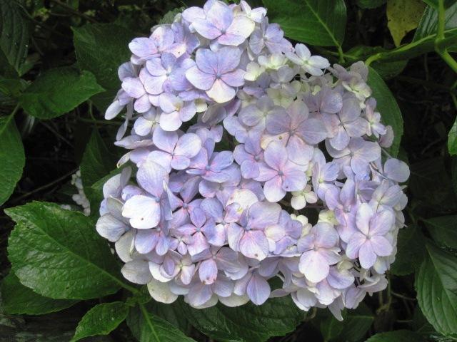 紫陽花は、まだまだ見ごろです_f0085369_22385948.jpg