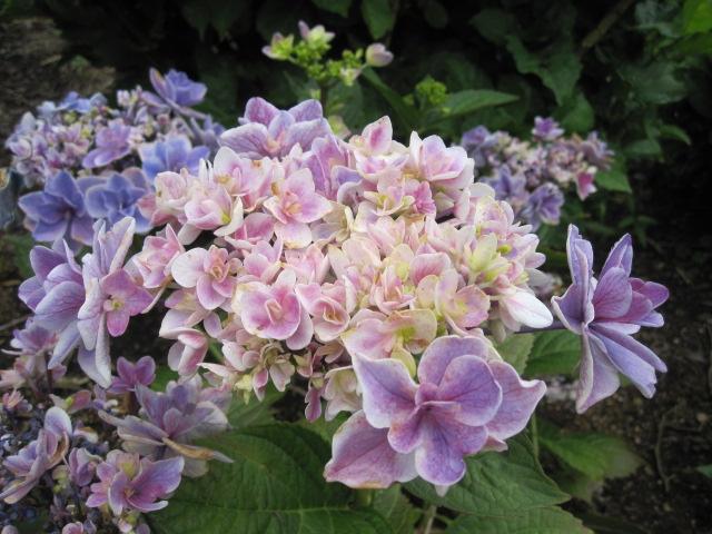 紫陽花は、まだまだ見ごろです_f0085369_22434559.jpg
