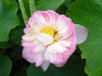 浄瑠璃寺の蓮の花と鎮魂の皿碑 2015_f0213825_1512503.jpg