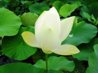 浄瑠璃寺の蓮の花と鎮魂の皿碑 2015_f0213825_15144863.jpg