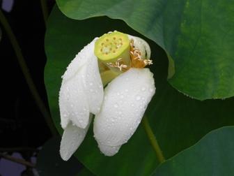 浄瑠璃寺の蓮の花と鎮魂の皿碑 2015_f0213825_16575558.jpg