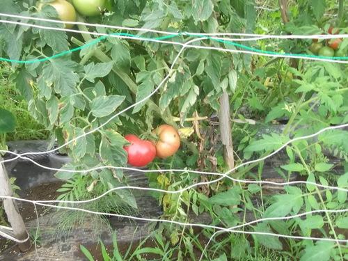 今年のトマトは...砂糖&塩が欲しい_b0137932_224297.jpg