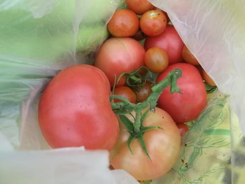 今年のトマトは...砂糖&塩が欲しい_b0137932_2244978.jpg
