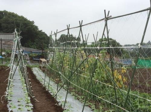 蔓ありインゲン 「いちず」の櫓立てを 飯田 シェフ 永藤と作業 高木さんには収穫を_c0222448_14563885.jpg