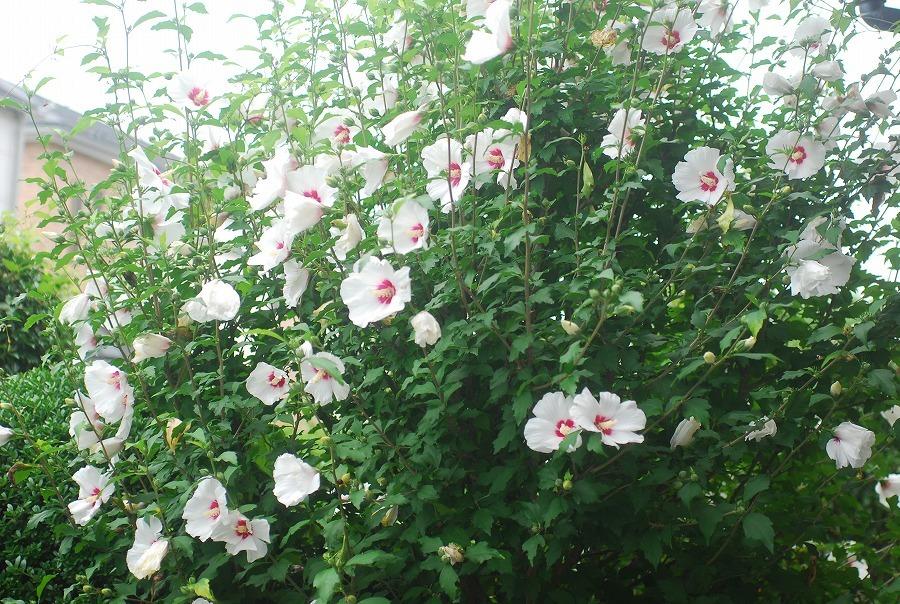 木槿の花他_c0187781_15430107.jpg