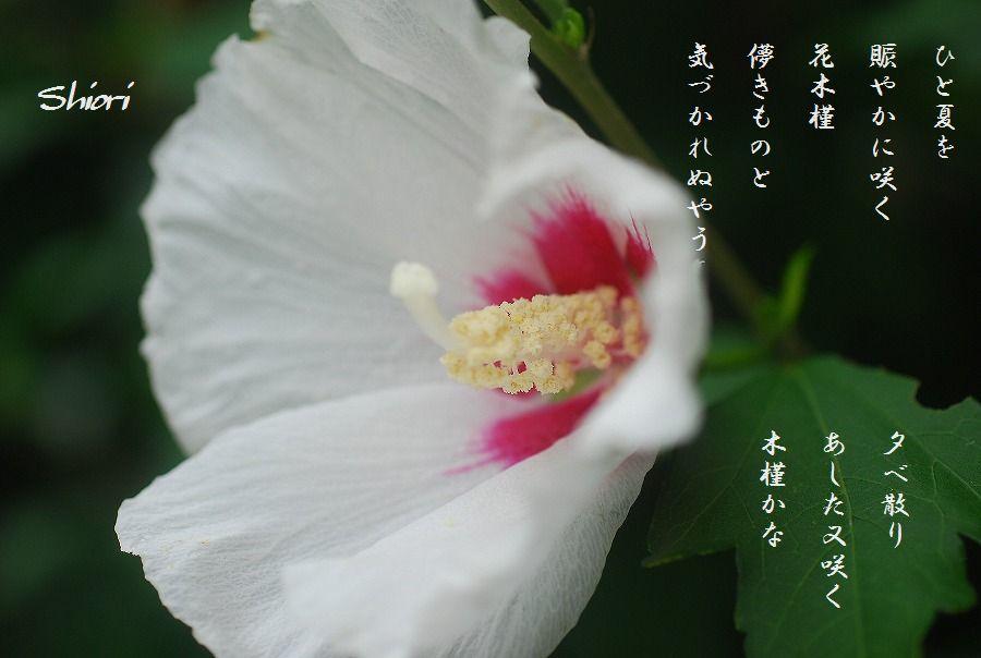 木槿の花他_c0187781_16515754.jpg